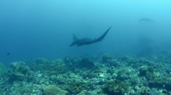 Manta Rays Swimming Over the Reef Stock Footage
