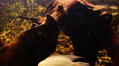 African Cichlids in aquarium Stock Footage