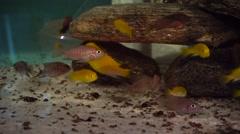 African Cichlids in aquarium - stock footage