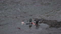 Two ravens eating dead salmon - stock footage