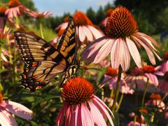 Swallowtail Butterfly on Echinacea - stock photo
