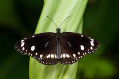 Common Crow butterfly - stock photo