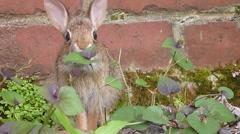 Rabbit Eating In Garden 1 Stock Footage