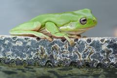Green tree frog on pond - stock photo