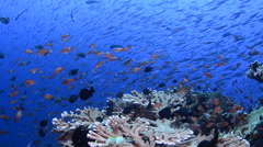 Pink Anthias and Schooling Fusiliers  2 Stock Footage