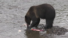 Grizzly bear eats salmon after catching Stock Footage
