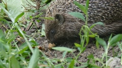 Hedgehog in a natural environment Stock Footage