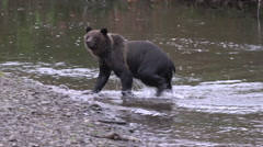 Big Grizzly bear leaves creek and runs Stock Footage