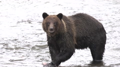 Grizzly bear eating salmon looks at camera Stock Footage