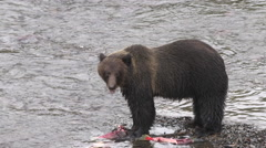 Female grizzly bear eats salmon Stock Footage