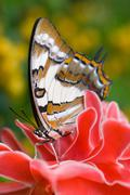 Tailed Emperor butterfly on tropical ginger flower in garden Stock Photos