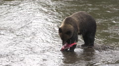 Female grizzly bear eating salmon Stock Footage