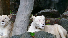 Two female lion sitting and resting in nature Stock Footage