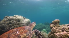 Great diving with  Hawksbill turtles near the Maldives. Stock Footage