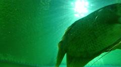 fish swimming in water tank aquarium - stock footage