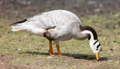 Bar-headed goose (Anser indicus) Stock Photos