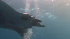 Fantastic diving with manta rays off Socorro island. Stock Footage