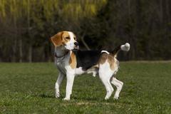 Dog breed beagle Stock Photos