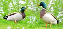Wild ducks or mallard on green grass - stock photo