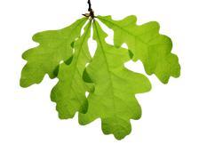 Spring leaves of oak tree - stock photo