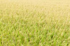 Rice fields in the tropics - stock photo