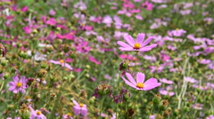 Cosmos flowers blooming in the garden Stock Footage