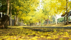 Cassia fistula flower and the road in countryside Stock Footage