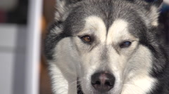 Siberian Husky in winter forest in sunny day Stock Footage