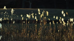 Japanese Pampas Grass (Miscanthus sinensis) Stock Footage
