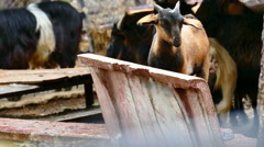Herd of cute brown cub yeanling goat Stock Footage