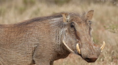 Warthog looks suspiciously at the camera in Mokala National Park, South Africa Stock Footage