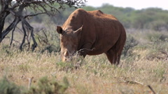 White rhino feeding on grass in Mokala National Park in South Africa Stock Footage