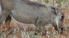 Cute Baby warthog feeding while on its knees in Mokala National Park in South Af Stock Footage