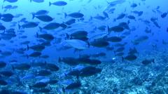 School of Black Surgeonfish Stock Footage