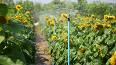 Blooming flower of sunflower field in agriculture farm Stock Footage