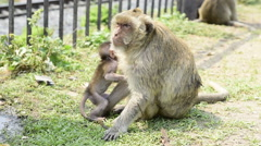 Mother and baby monkeys Stock Footage