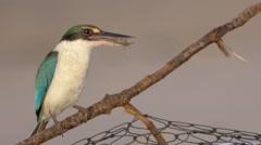 Kingfisher Stock Footage