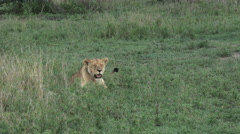 Lioness calling cubs Stock Footage
