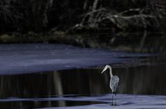 Great Blue Heron on ice Stock Photos