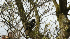 Blackbird singing in budding lilac tree Stock Footage