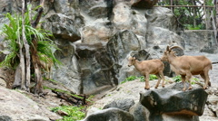 Brown barbary sheep standing on stone mountain Stock Footage