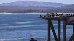 Cormorant sitting on safe nesting area, Monterey coastline Stock Footage