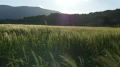 Field of green grass blowing in wind Stock Footage