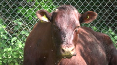 Unhappy Cow covered in flies under hot sun Stock Footage