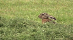 European hare in germany Stock Footage