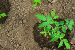 Top view young tomato plant in open ground Stock Photos