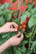 Child hand harvesting tomatoes from an urban garden on the balcony Stock Photos