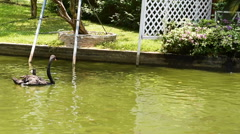 Goose swimming in the swamp Stock Footage