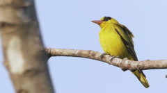 Cute Yellow Beautiful Black-naped Oriole Bird in Langkawi, Malaysia Stock Footage