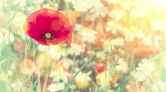 Closeup of red poppy on summer flower field. Nature background - stock footage